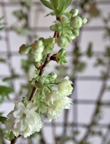 ◆最後の桜・・「行き行きて 行きて花」いけばな二人展  豊中 桜の庄兵衛ギャラリー_e0154682_22292750.jpg