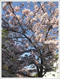 下関の桜_b0142989_17425370.jpg