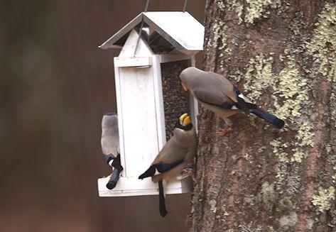 庭仕事、小鳥たち、蕗の薹_c0090198_18353272.jpg
