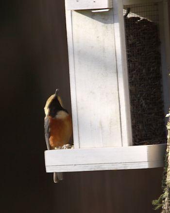 庭仕事、小鳥たち、蕗の薹_c0090198_1836265.jpg