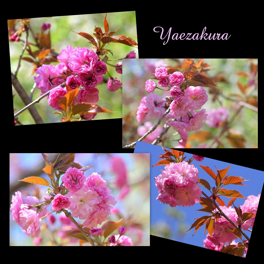 八重桜_d0147812_17161178.jpg