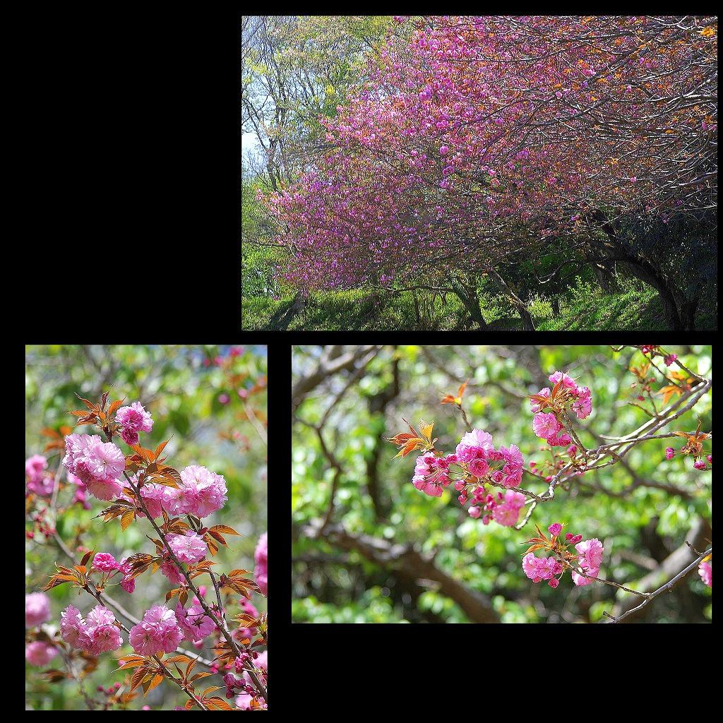 八重桜_d0147812_17161925.jpg