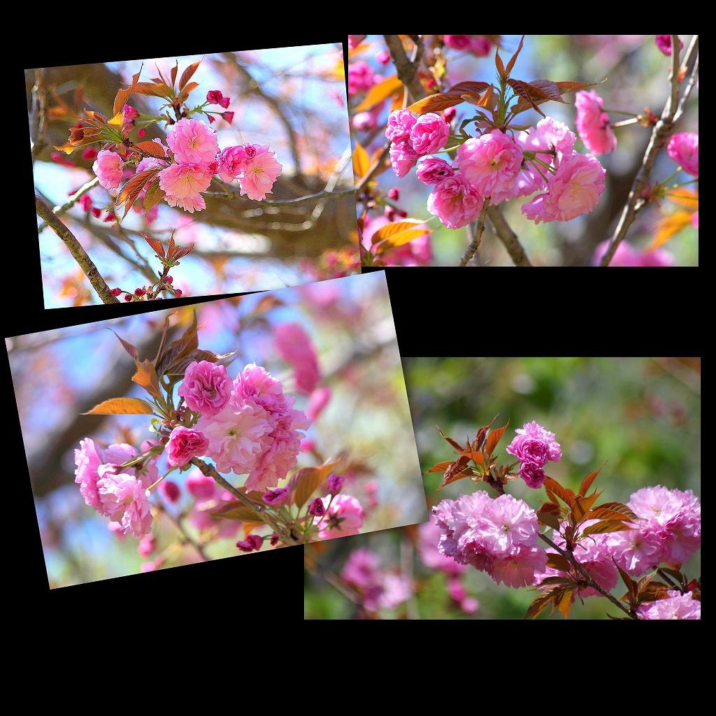八重桜_d0147812_17182997.jpg