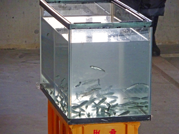 安家川と鮭稚魚放流会なのだ!_c0259934_09580439.jpg