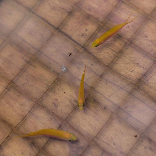 入荷情報~海水魚~_d0221436_20390586.jpg