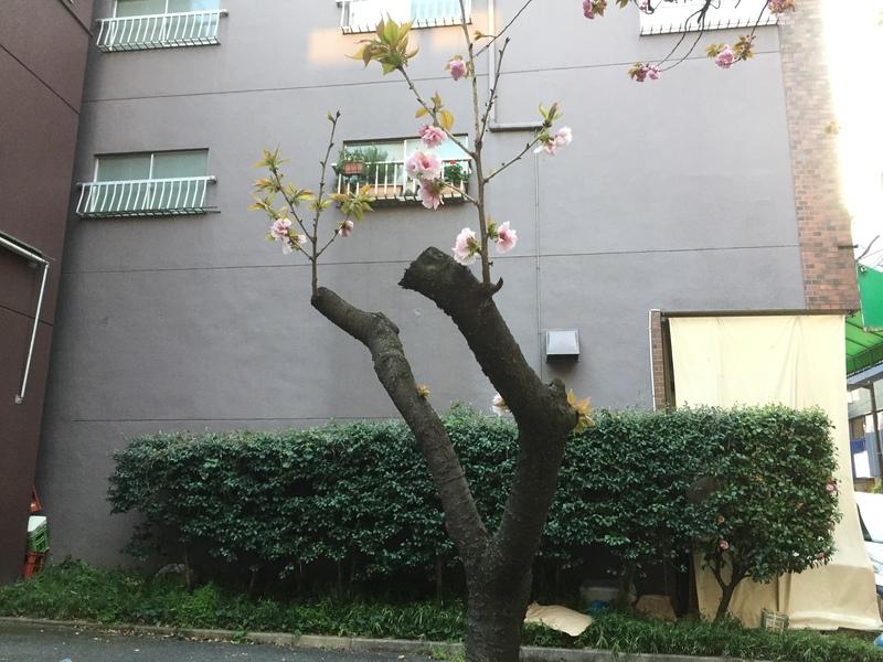 ちっさな桜が咲いてます。&4月19日(水)のランチメニュー_d0243849_2285357.jpg