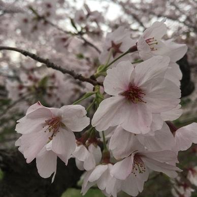 SAKURA_f0202682_20081002.jpg