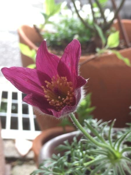 春のお花たちが次々咲いています_e0232798_17292040.jpg