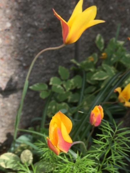 春のお花たちが次々咲いています_e0232798_17311127.jpg