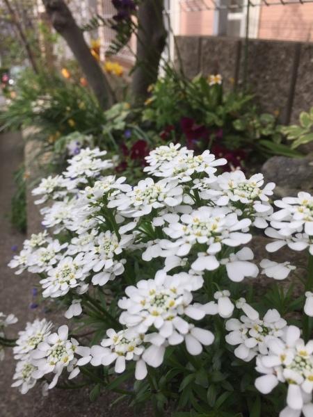春のお花たちが次々咲いています_e0232798_17313243.jpg