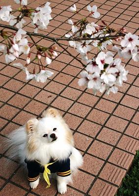 桜前線 2013_d0360206_12261606.jpg
