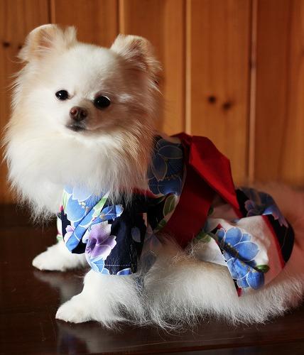 日本生まれのポメだから_d0360206_12290516.jpg