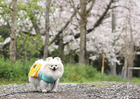桜と雪とお散歩と_d0360206_13003446.jpg