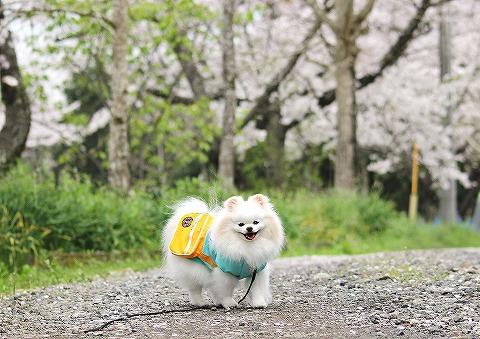 桜と雪とお散歩と_d0360206_13003469.jpg
