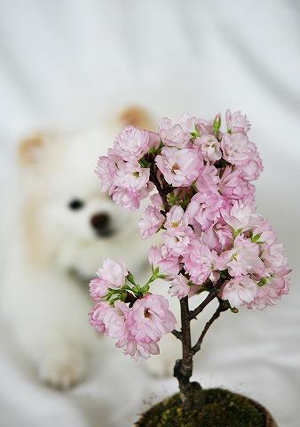 あなただけの桜_d0360206_13003729.jpg