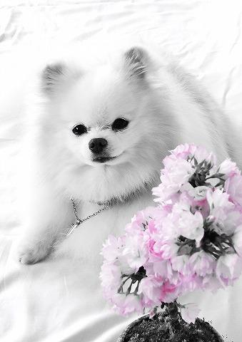 あなただけの桜_d0360206_13003772.jpg