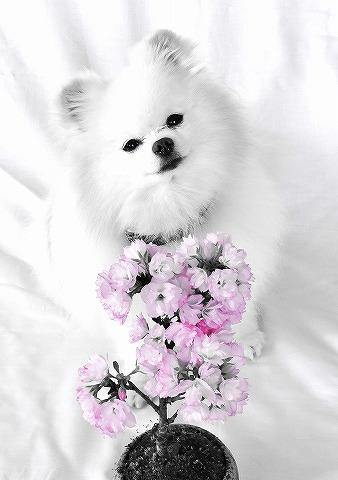あなただけの桜_d0360206_13003776.jpg