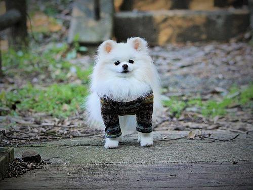 愛玩犬とは何ぞ?_d0360206_13184348.jpg