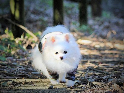 愛玩犬とは何ぞ?_d0360206_13184428.jpg