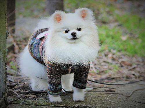 愛玩犬とは何ぞ?_d0360206_13184721.jpg