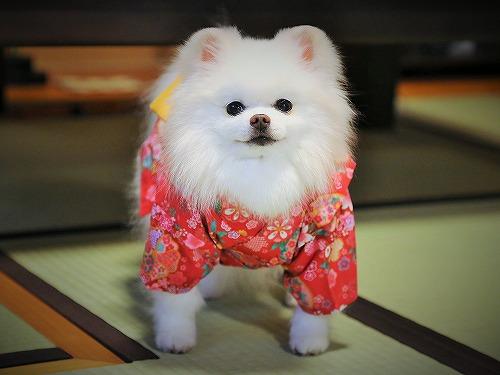 Here comes a Japanese pomeranian !!_d0360206_13243035.jpg
