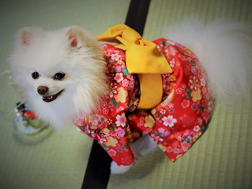 Here comes a Japanese pomeranian !!_d0360206_13243096.jpg