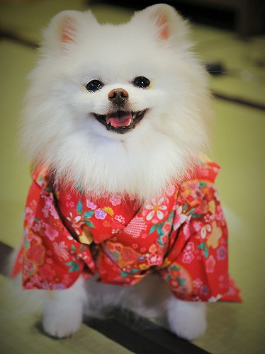Here comes a Japanese pomeranian !!_d0360206_13243148.jpg