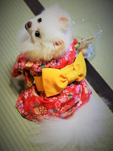 Here comes a Japanese pomeranian !!_d0360206_13243159.jpg