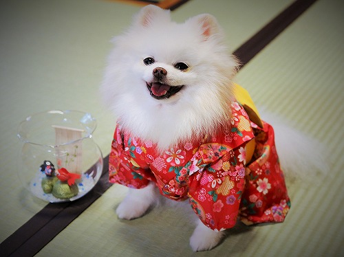 Here comes a Japanese pomeranian !!_d0360206_13243163.jpg