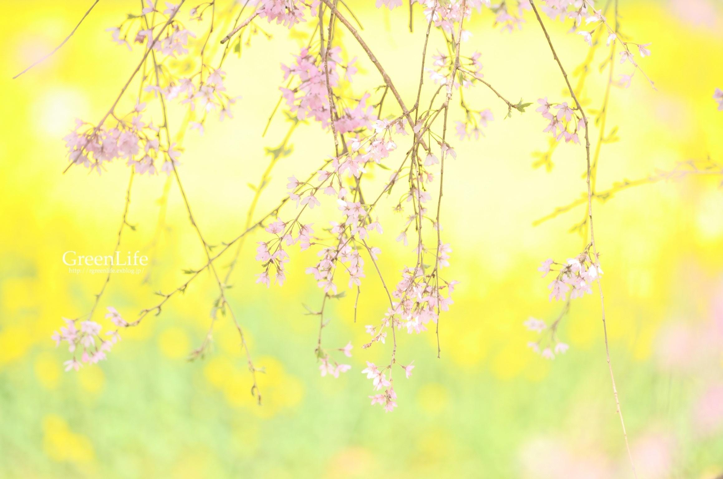 菜の花に包まれて_f0321522_14455229.jpg