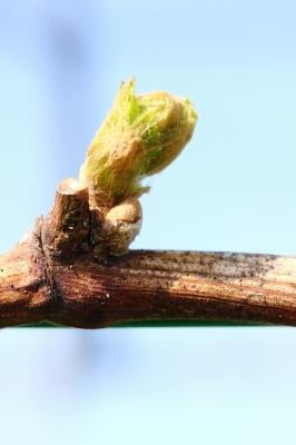 葡萄の萌芽がはじまりました。_d0336530_20493604.jpg