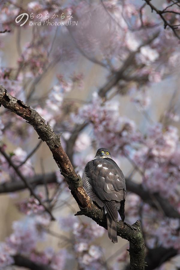 桜とツミ:2017年_d0360547_14584132.jpg