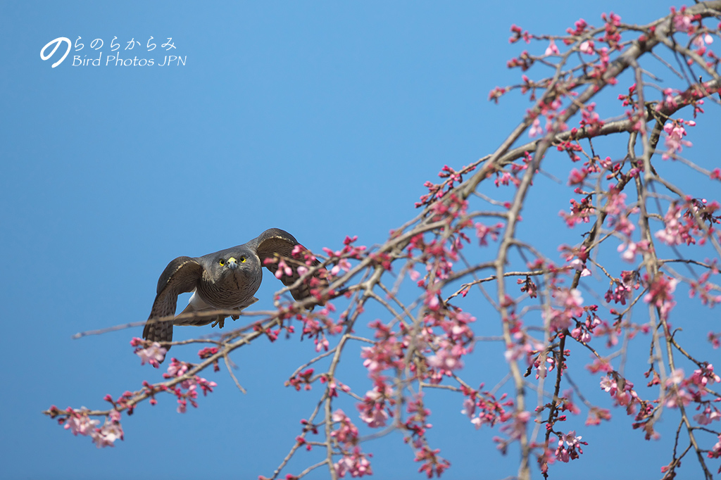 桜とツミ:2017年_d0360547_14591654.jpg