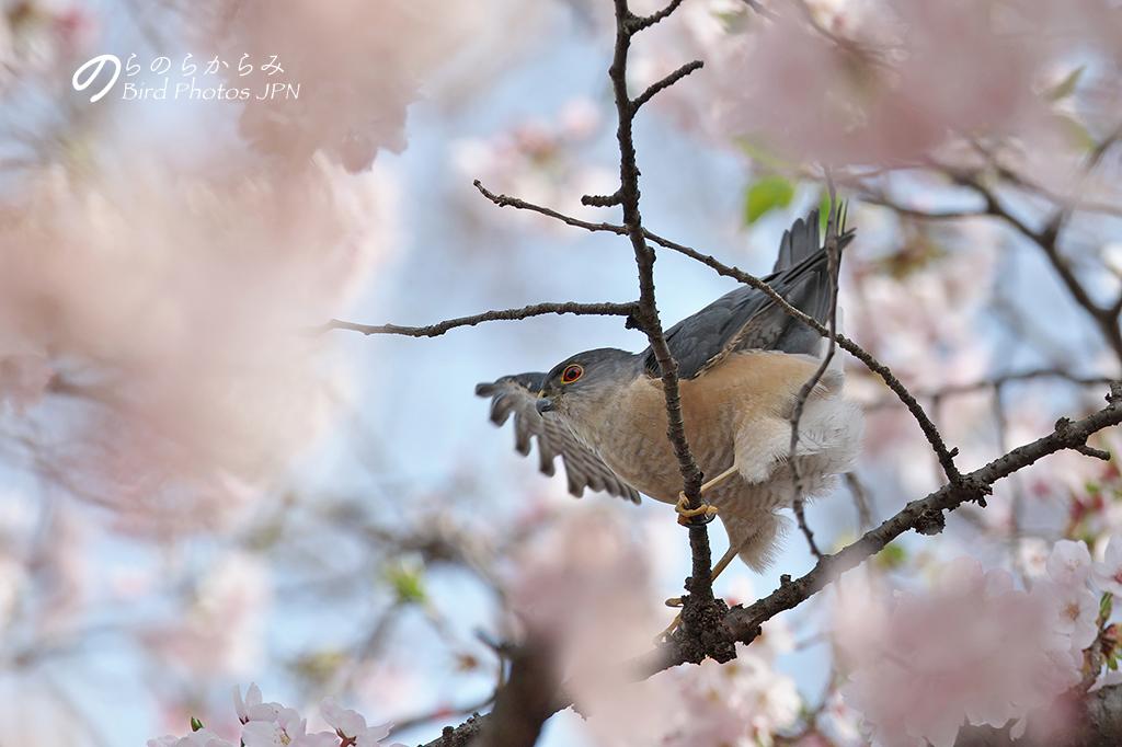 桜とツミ:2017年_d0360547_1459180.jpg