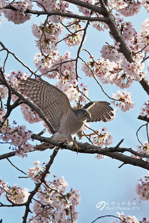桜とツミ:2017年_d0360547_1459288.jpg