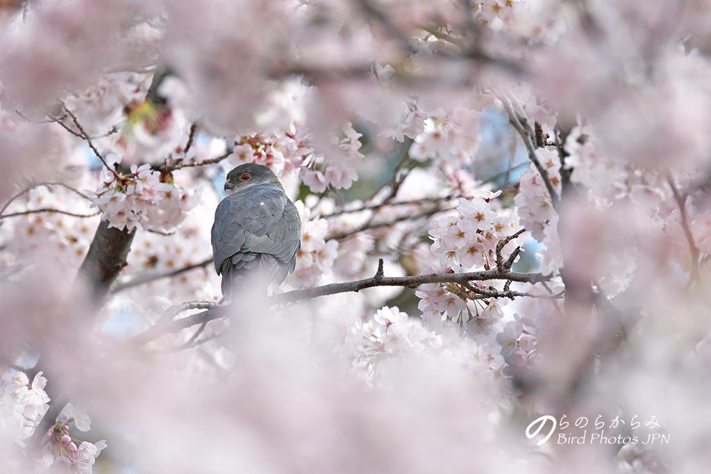 桜とツミ:2017年_d0360547_14594135.jpg