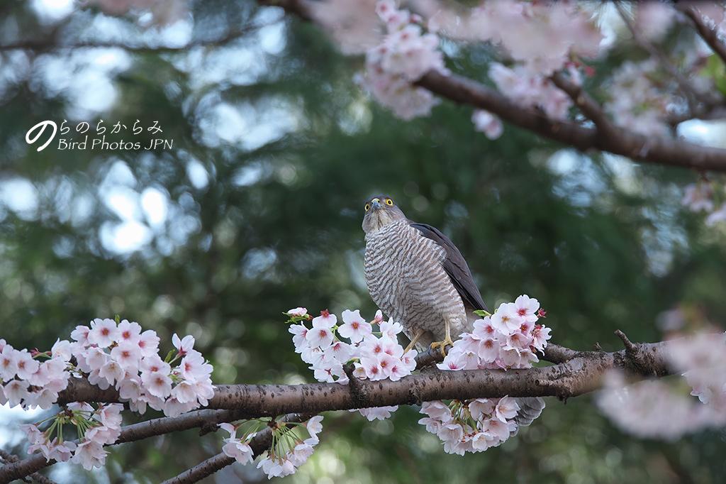 桜とツミ:2017年_d0360547_150876.jpg