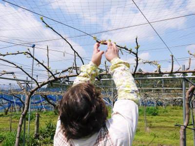 熊本梨 岩永農園 気温の上昇と共に、まずは最後に収穫する新高の花が咲き誇っていました_a0254656_18243969.jpg