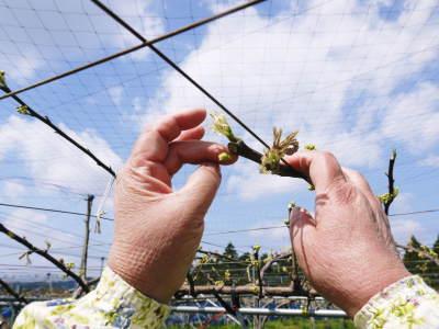 熊本梨 岩永農園 気温の上昇と共に、まずは最後に収穫する新高の花が咲き誇っていました_a0254656_18274751.jpg