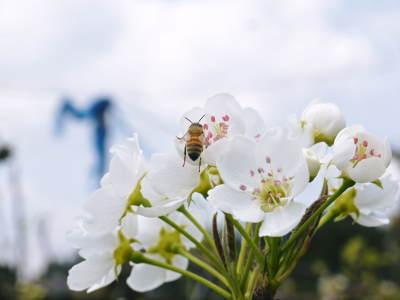 熊本梨 岩永農園 気温の上昇と共に、まずは最後に収穫する新高の花が咲き誇っていました_a0254656_18514828.jpg