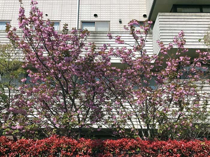 八重桜_e0016894_09354170.jpg