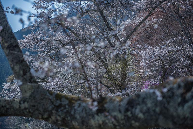 記憶の残像 2017年 桜  東京都奥多摩町 _f0215695_21253460.jpg