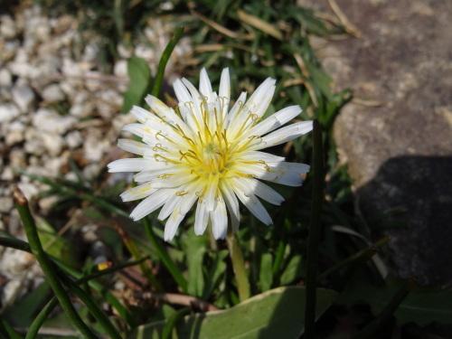 白花たんぽぽ_e0240147_22075731.jpg