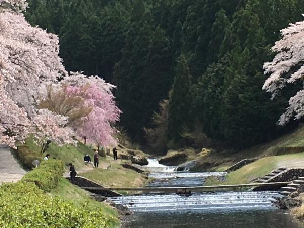 さくらの木の下で お花見弁当_b0100062_08250367.jpg