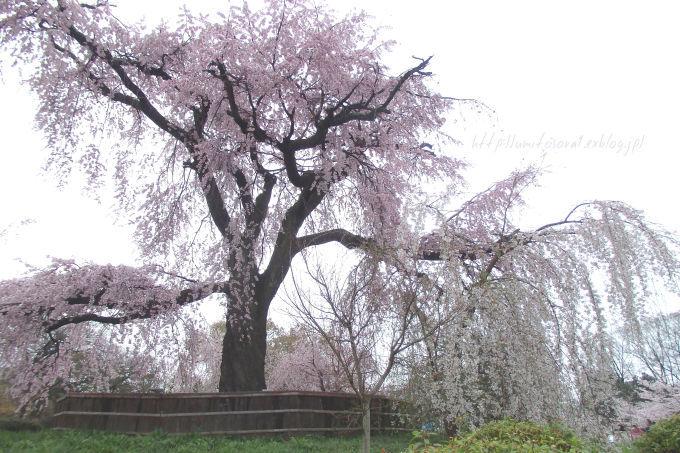 京の春*円山公園_b0324291_23371237.jpg