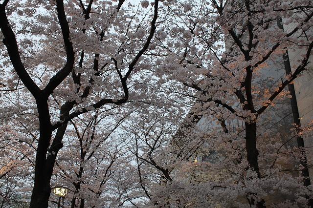 祇園白川の桜 2017 春_f0374092_21445321.jpg