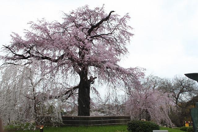 円山公園の桜 2017 春_f0374092_22075471.jpg