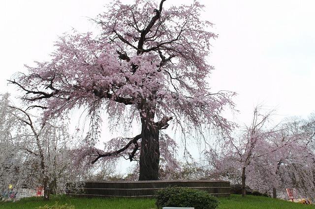 円山公園の桜 2017 春_f0374092_22100086.jpg