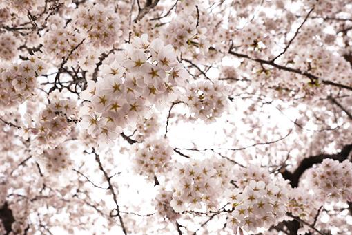 水沢公園・2017桜_b0259218_23284512.jpg