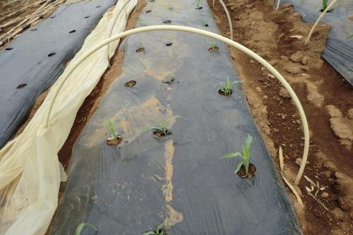 トウモロコシの植え付け_b0137932_21521212.jpg